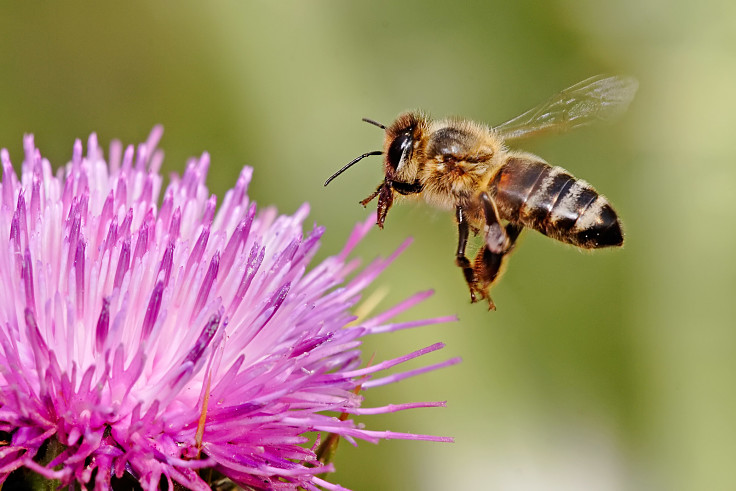 Support your local bees by planting bee attracting and flowers, shrubs and trees that provide pollen for bees