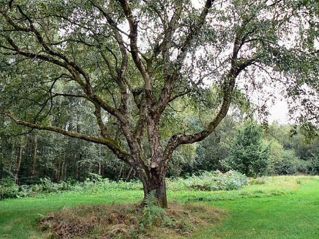 Branch angles are a very important part of the design of the tree and how it functions.
