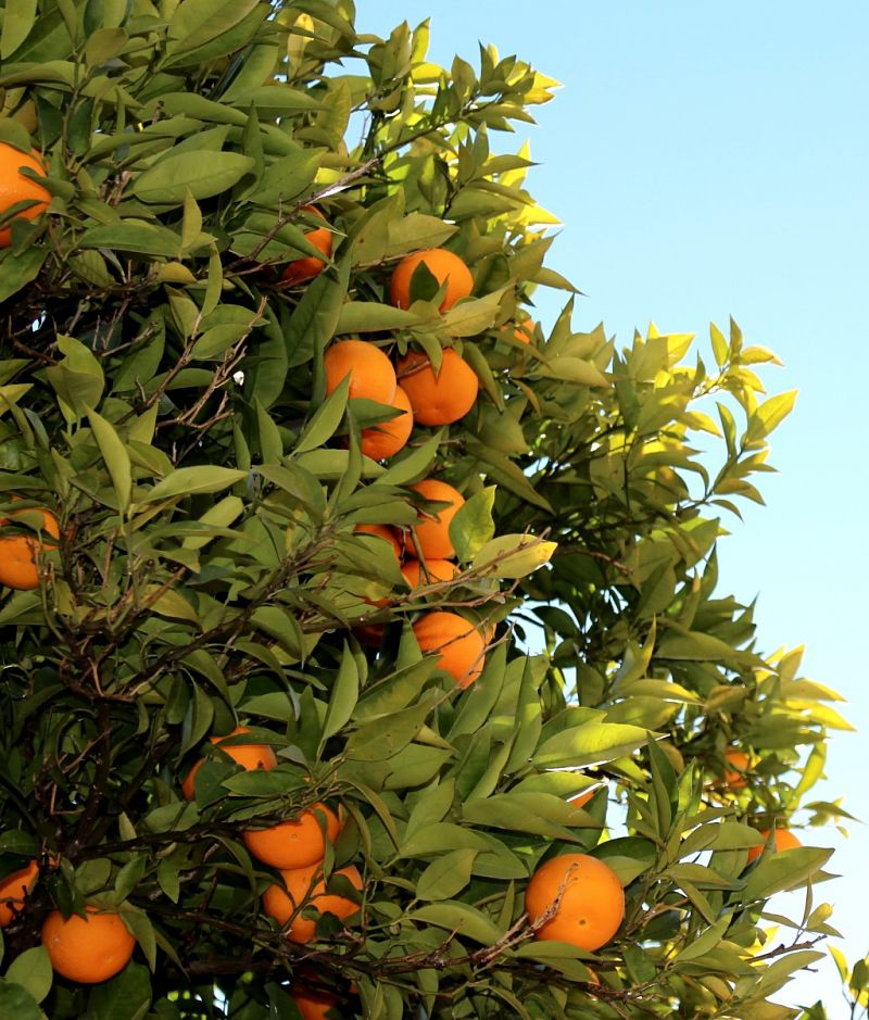Orange trees are easy to grow in the home garden.