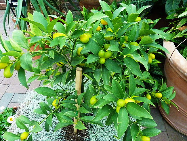 Kumquats are easy to grow. Discover how to choose, plant and care for kumquats in pots and in the garden