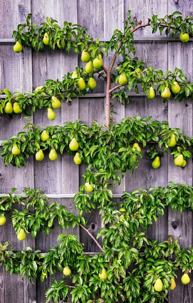 Espalier - the Art of growing fruit trees in small spaces especially on walls and frame supports