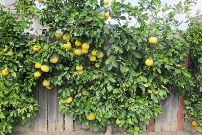 Espalier can be used for a wide variety of fruit trees including citrus