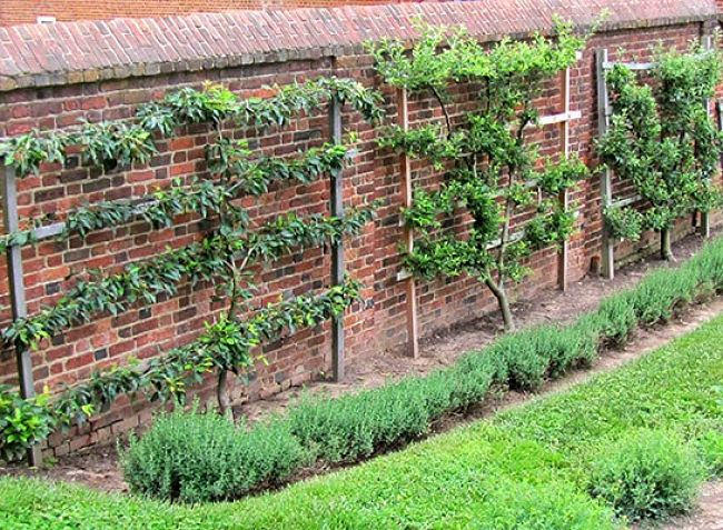 Making maxium use of a wall using Espalier