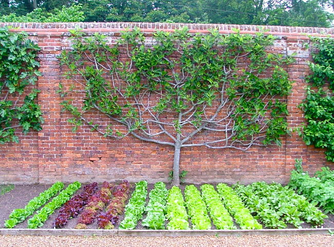 Espalier fruit trees combined with a vegetable garden design