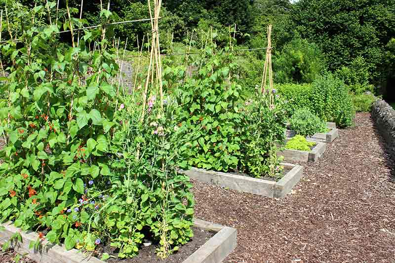 Beans and peas grow very well on stakes and frames and can be continuously harvested for quick yields