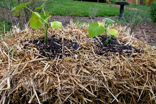 Planting Seedlings into Straw Bales Tip 4