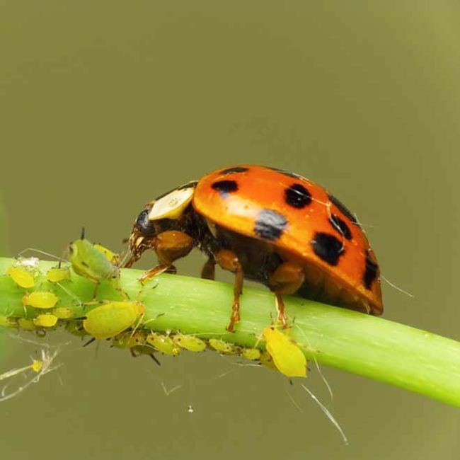 Lady bird beetle feeding on aphids - a perfect natural remedy