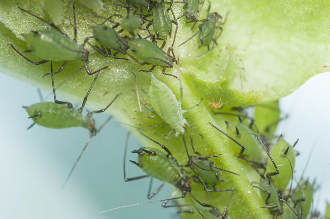 Aphids can destroy your plants. Lean how to control them here