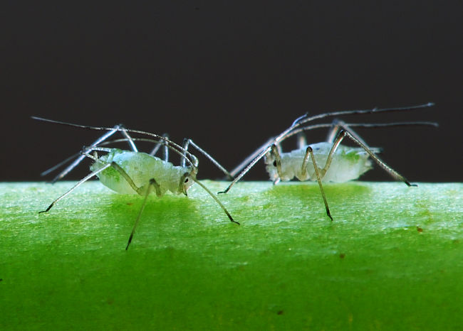 Aphids can devastate healthy plants in a matter of days. It is important to control them quickly