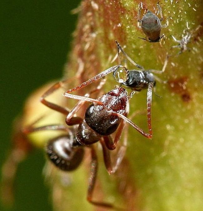 Ants feed on honeydew produced by aphids and ant trails are a tell-tale sign of aphid infestations.