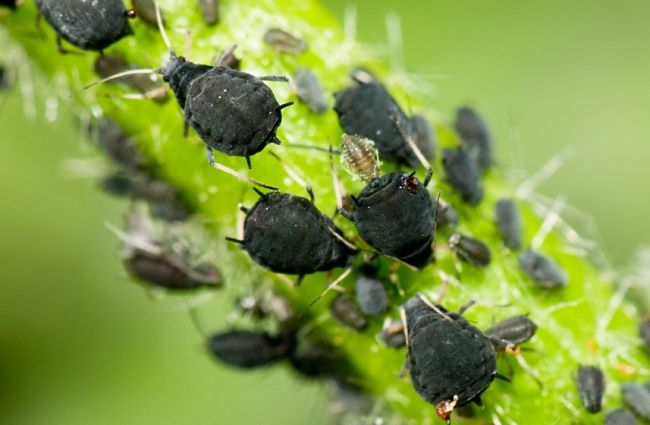 Black aphids creating havoc