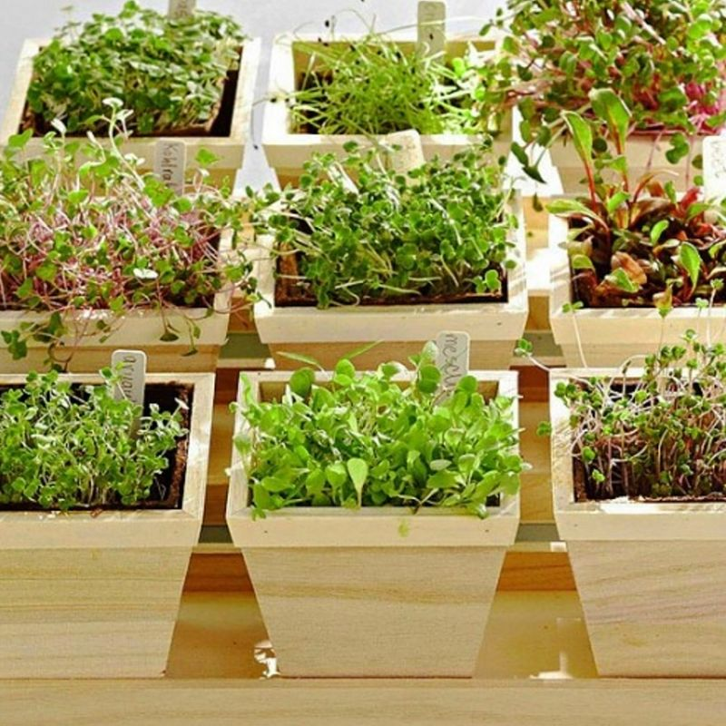Mini-greens are easy to grow. The seedlings are harvested after as little as 5-8 days. Very little spaces is required. Continuous harvesting is possible with multiple pots are different stages of growth.