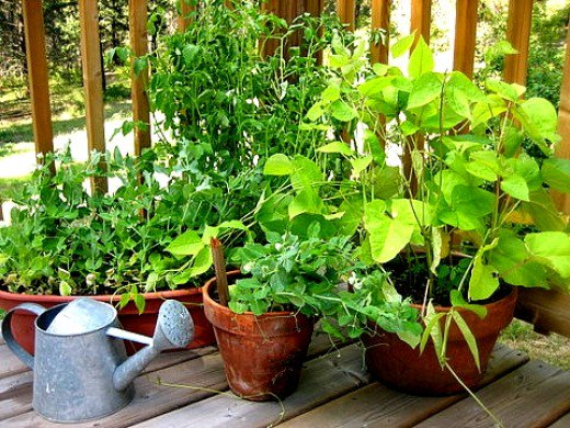 Most vegetables grown in pots need support in the form of stakes and frames