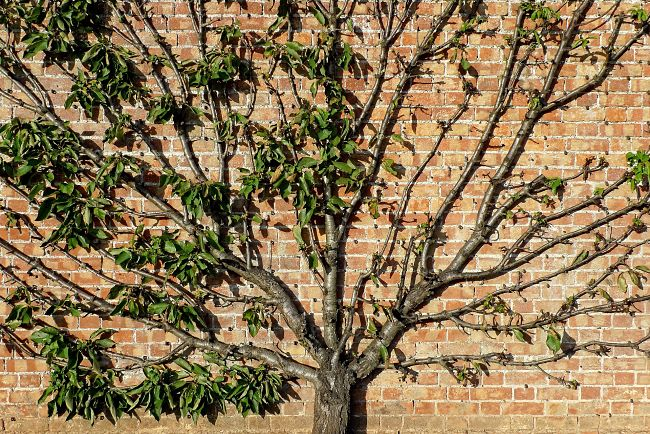 Fruits trees can be trained up walls for decorative purposes and for high yields