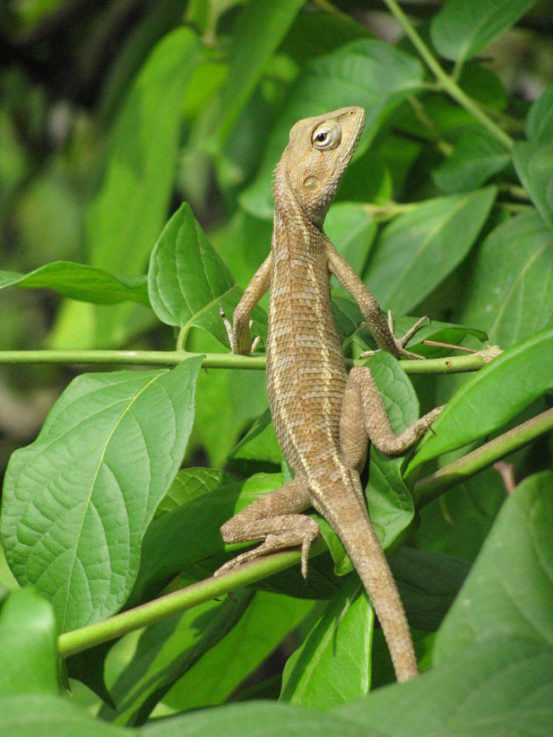 Lizards flourish in home gardens that are designed for them.