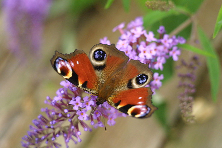 Butterflies will flutter by and visit a properly designed garden with the trees and flowers that attracts them